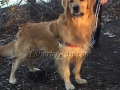 Barkley-golden-retriever-adult-male-stud