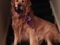Jaxson-of-Liberty-Run-Golden-Retrievers