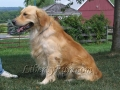 Samson-golden-retriever-male-stud