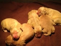 Snickers-golden-retriever-puppies-for-sale-2015
