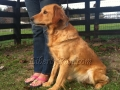 Sunny-golden-retriever-adult-female
