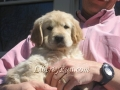 aspen-skip-goldenretrieverpuppies