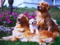 golden-retriever-family-portrait