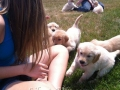 golden-retriever-socialization-puppies-breeders