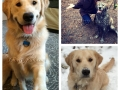 golden_retriever_breeders-puppies-for-sale-in-DC