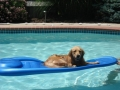 goldenretriever-maybelle1