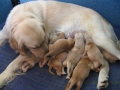 goldenretrieverpuppies-abby2