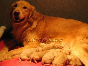 Golden-Retriever-with-puppies-buttercup