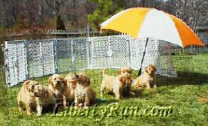 agroup-golden-retriever-parents