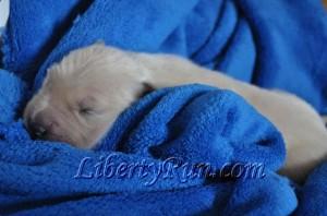 ajasmines-baby-golden-retriever-puppy