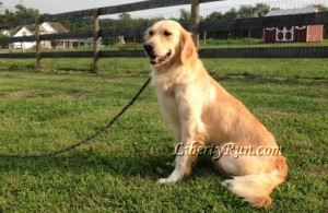 Juliana-golden-retriever-breeders-md-va-dc