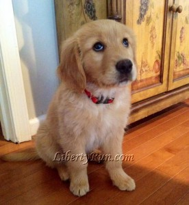 Simba - a Golden Retriever Puppy from Liberty Run