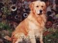 harley-boy-golden-retriever-stud